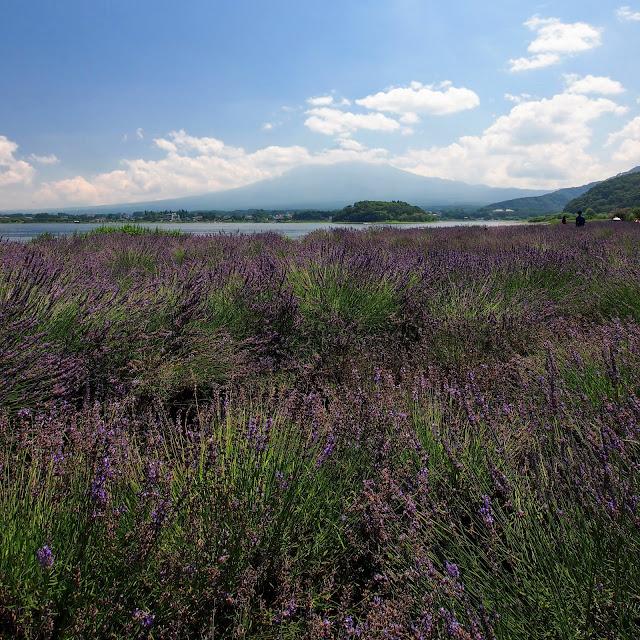 河口湖 湖北ビューライン 大石公園 ラベンダー