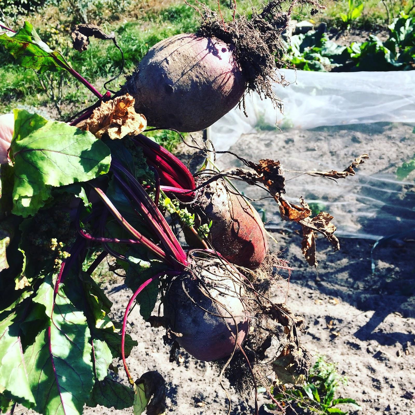 moestuin herfst najaar volkstuin zon mulch permacultuur bieten