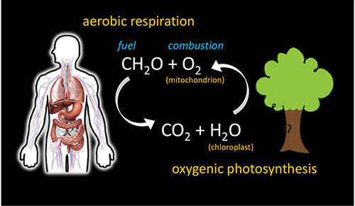 Normal respiration with oxygenic photosynthesis on Earth (Source: Dianne Newman, Caltech)