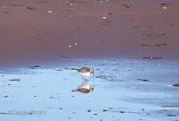 Semipalmated plover – Brackley Beach, PEI – Oct.3, 2014 – © Denise Motard