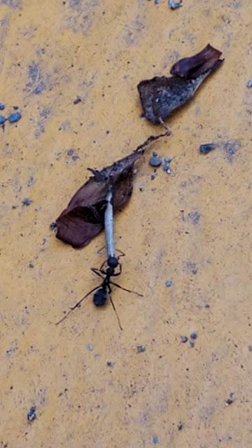 アリが引っ張っていく