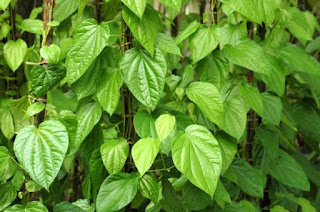 Efficacy Betel leaf for Health
