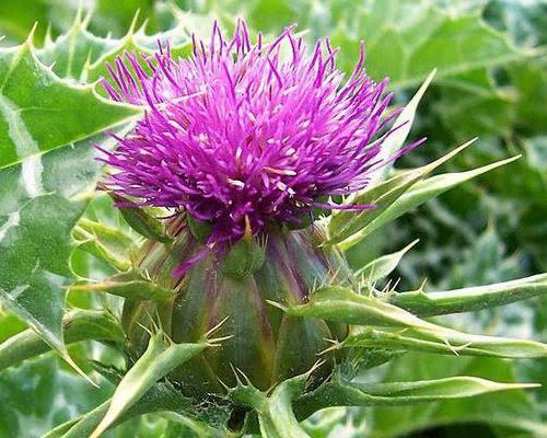 Purple Milk Thistle Flower