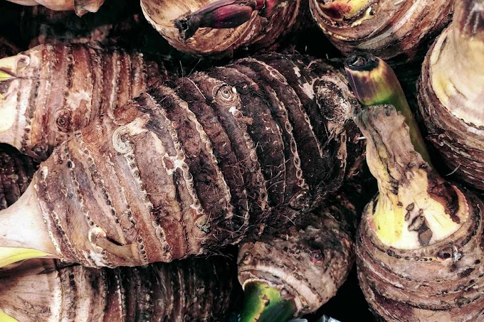 [2021] Can Dogs Eat Taro | Is Taro Safe For Dogs