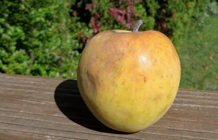 Conical yellow apple w bruises and small faint orange blush.