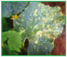 jamur cendawan Erysiphe