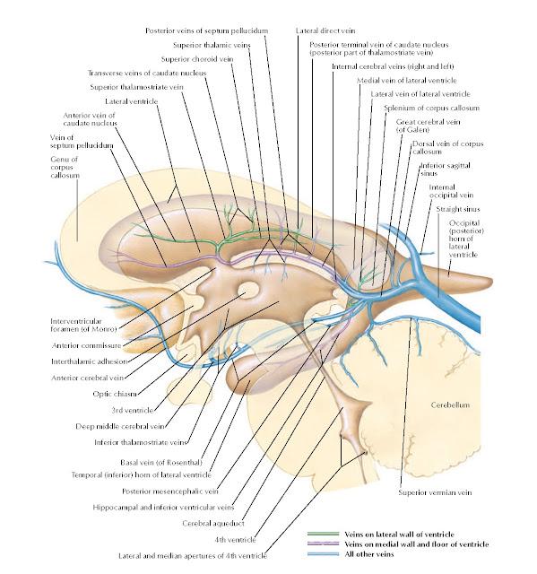 Subependymal Veins of Brain Anatomy