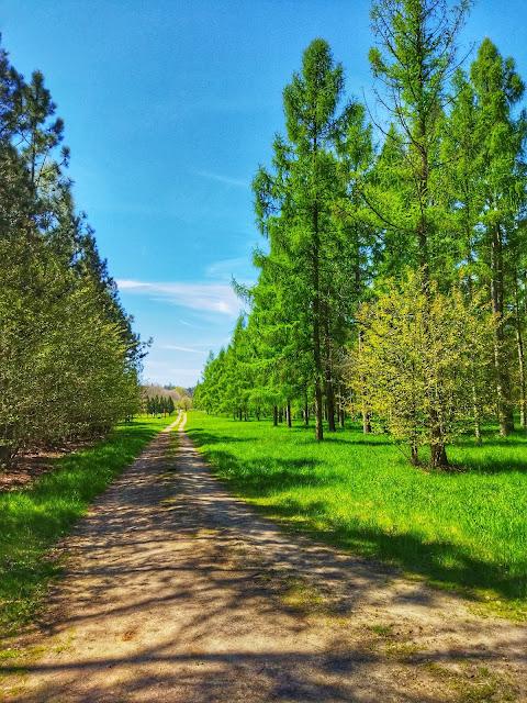 las modrzewi w Arboretum na dolnym śląsku w Stradomii