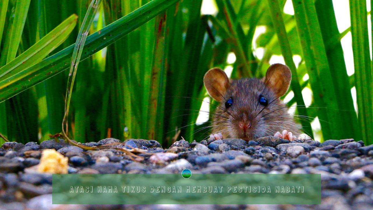 Atasi Hama Tikus Dengan Membuat Pestisida Nabati