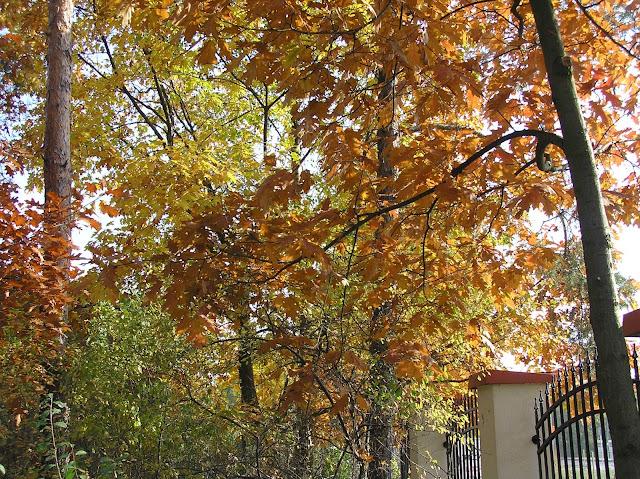 dęby jesienią