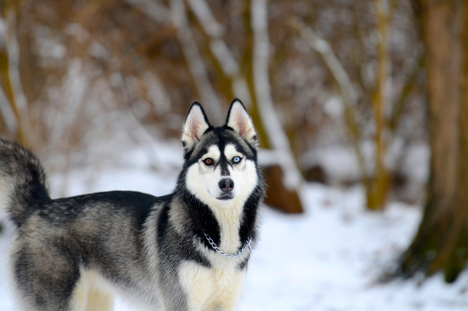 Cute Baby Comments Wallpapers Siberian Husky Snow Dogs Hd Wallpapers