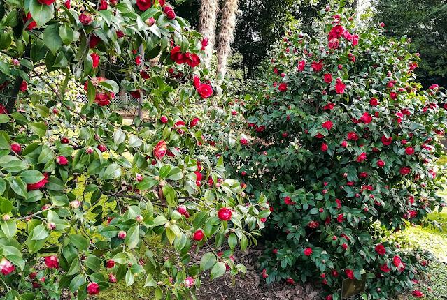 Kamelije u parku Angiolina Opatija