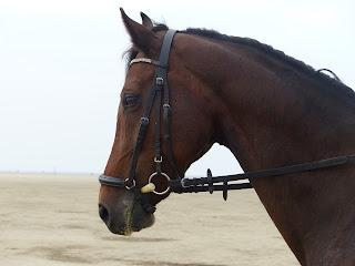 A dark bay horse wearing a bridle while training on a beach