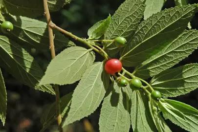 6 Manfaat buah karsen untuk kesehatan