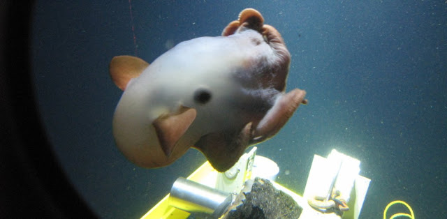 Pulpo dumbo y profundidades marinas