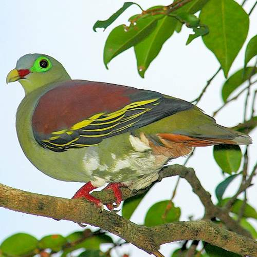 Indian birds - Image of Thick-billed green pigeon - Treron curvirostra