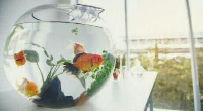 ikan hias buat aquarium mini