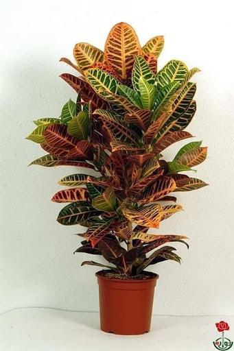 نبتة الكروتون من أجمل النبتات وسهلة الرعاية