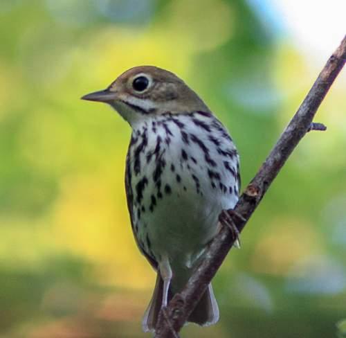 Bird World - Image of Ovenbird - Seiurus aurocapilla