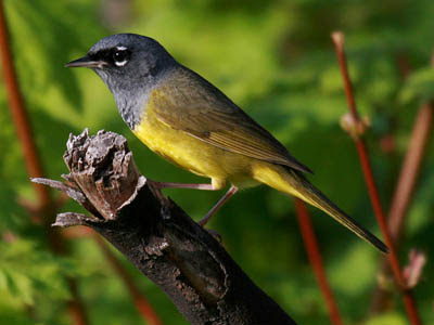 Photo of MacGillivray's Warbler on branch