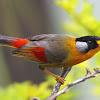 Harga Burung Panca Warna Terbaru 2018