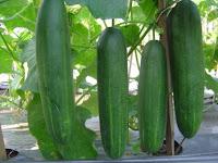 pohon timun, mentimun sembada f1, benih cap royal seed, manfaat timun, jual benih timun, toko pertanian, toko online, lmga agro