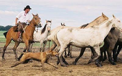 gaucho arreando ganado