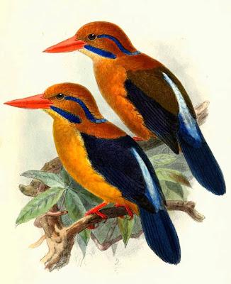 Alción bigotudo Actenoides bougainvillei