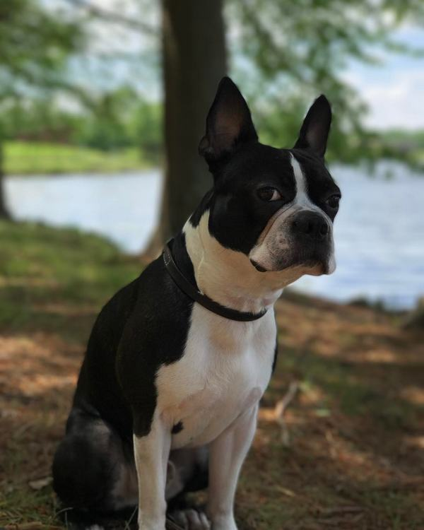 Boston Terrier Dog Brees