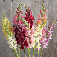 An assortment of multicolored Snapdragon blooms.