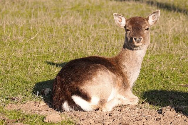 Задържаха бракониери, отстреляли бременна кошута в Тетевенско