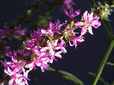 Salicaria (Lythrum salicaria)