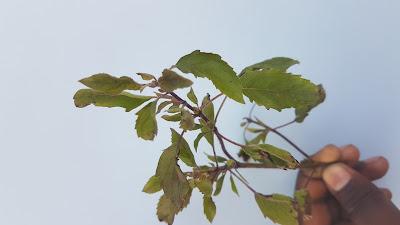 basil leaf image