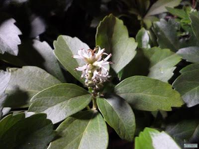 フッキソウの花