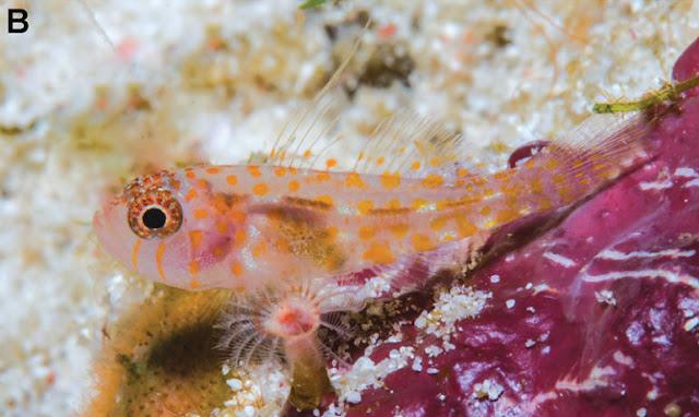 Reef Fish (Trimma Putrai)