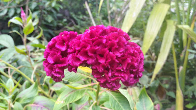 HDR mode- Asus zenfone Selfie - Sample Photo - Dark Pink Celosia