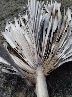 dry leaf of palm