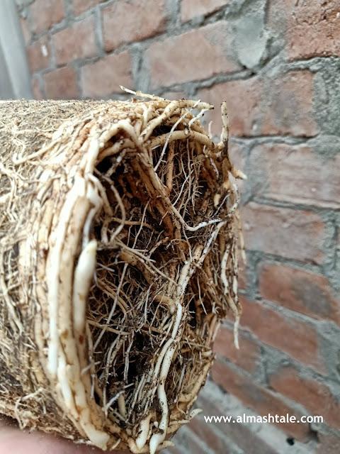 fan palm roots