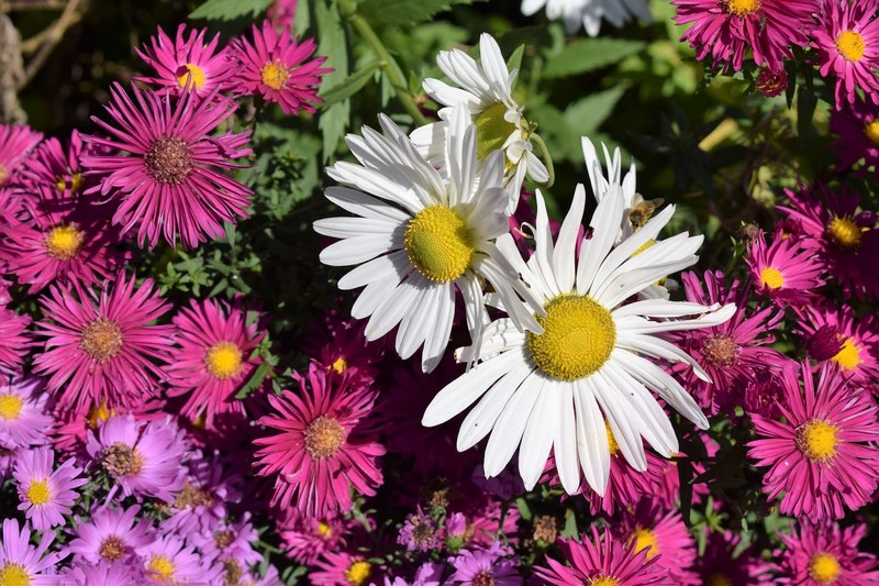 Asters en Waterperry Gardens. Foto Fernando Ruz