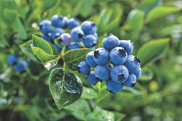 Washington Blueberries: All You Need To Know