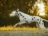Orta Boy Köpek Irkları 28 Köpek Cinsi ve Özellikleri >>>