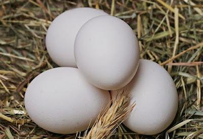 usaha ayam kampung intensif