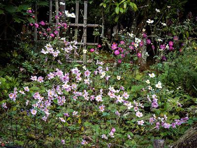 Shumei-giku (Anemone hupehensis var. japonica) flowers: Tokei-ji