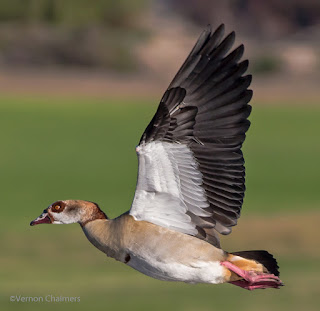 Egyptian Goose : Importance of flight direction and the position of the sun