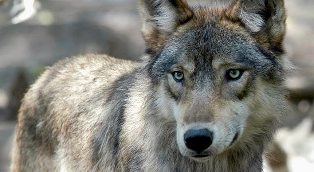 Idaho lawmakers pass bill to kill 90% of state's wolf population