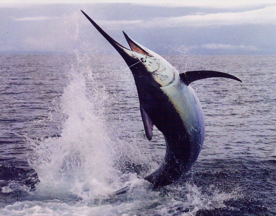 Blue Marlin 43
