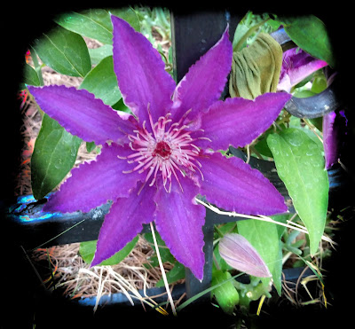 close up of purple blue clematis flower