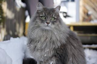 Siberia kucing ras yang unik