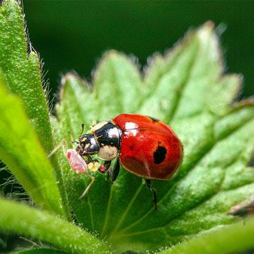 Pencegahan OPT Secara Alami Menggunakan Predator Dan Parasitoid