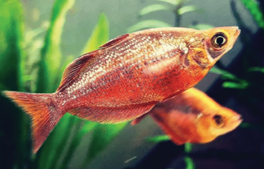 Ikan Rainbow 6 Jenis Ikan Rainbow Dengan Cara Merawat Dan Budidayanya Hewan Air Info